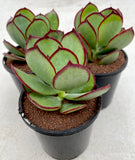 Cotyledon Ruby Lips