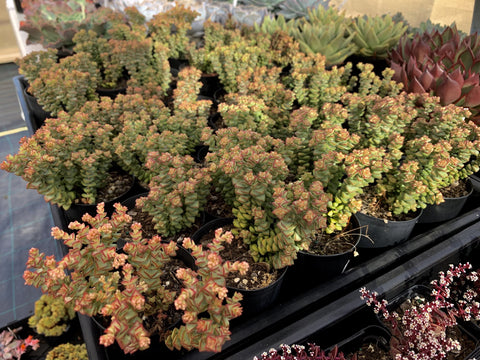 Crassula Tom Thumb cutting (set of 3)