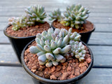 Graptopetalum pachyphyllum (with offsets)