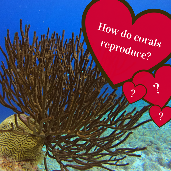 How do corals reproduce?