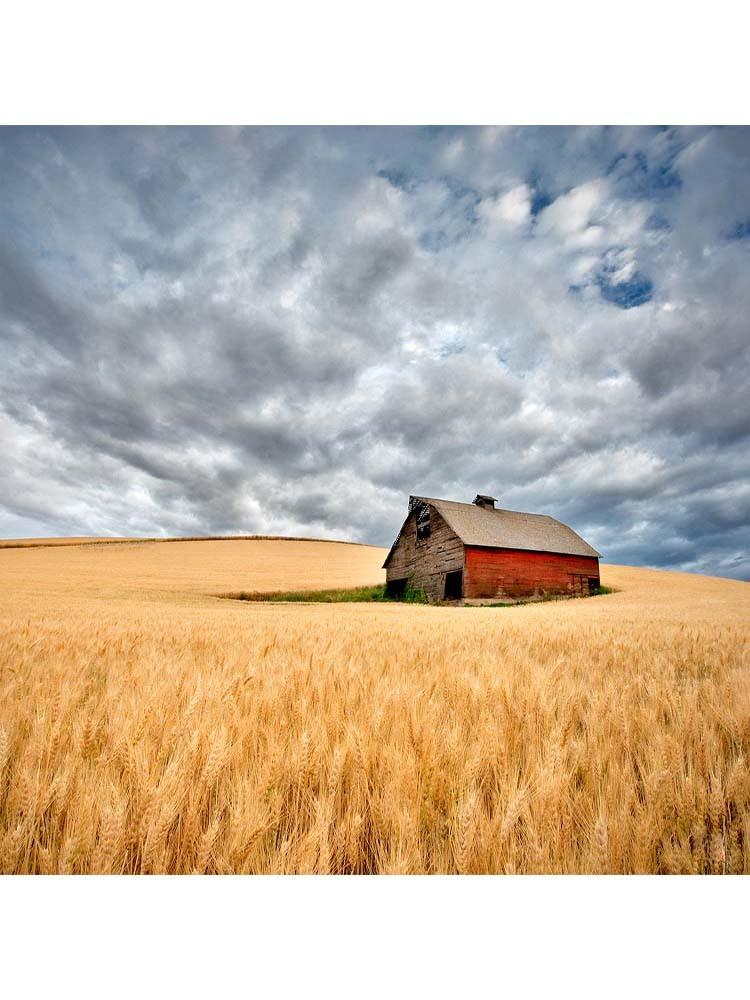 Barn In Wheat Field