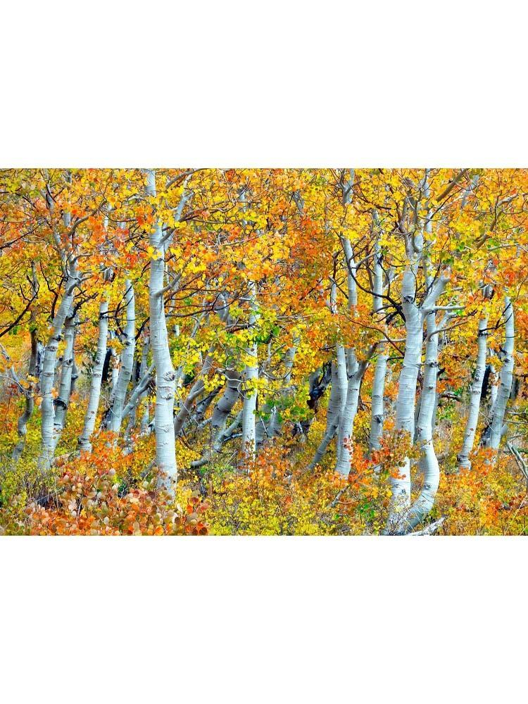 Trunks Of Aspen Trees