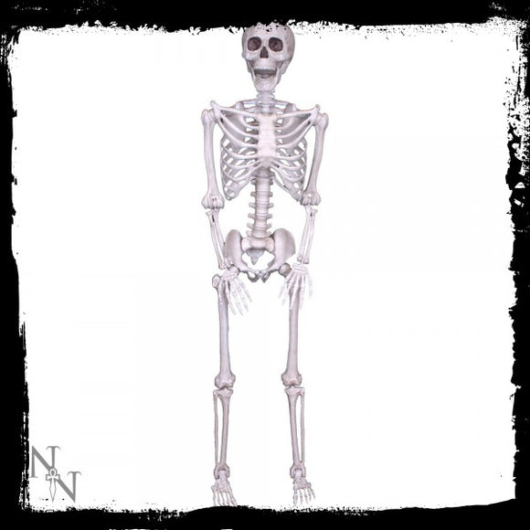 Lifesize Skeleton 152cm