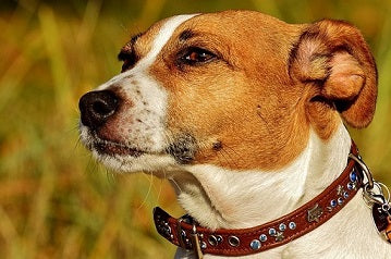 Jack Russell Puppies: What To Know