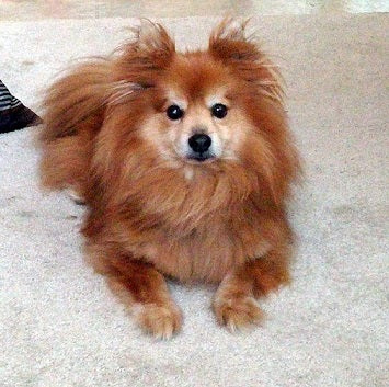 Top 10 Pomeranian Cross Breeds