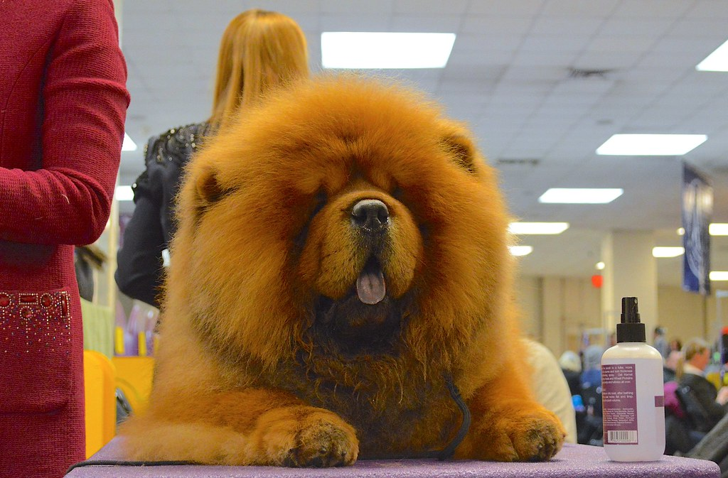Why Chow Chows Are the Best Family Dog