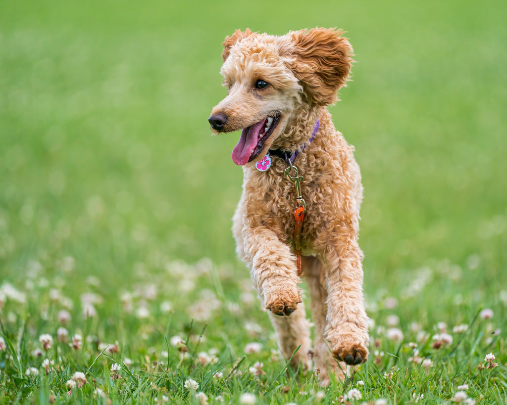 10 Best Dogs For People With Allergies