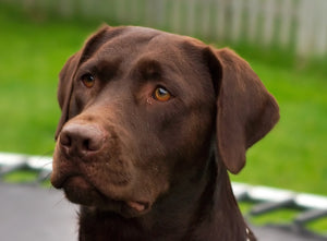 Why Labradors Are the Best Family Dog