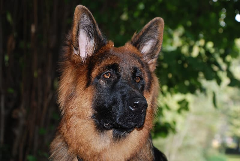 Why German Shepherds Are the Best Family Dog