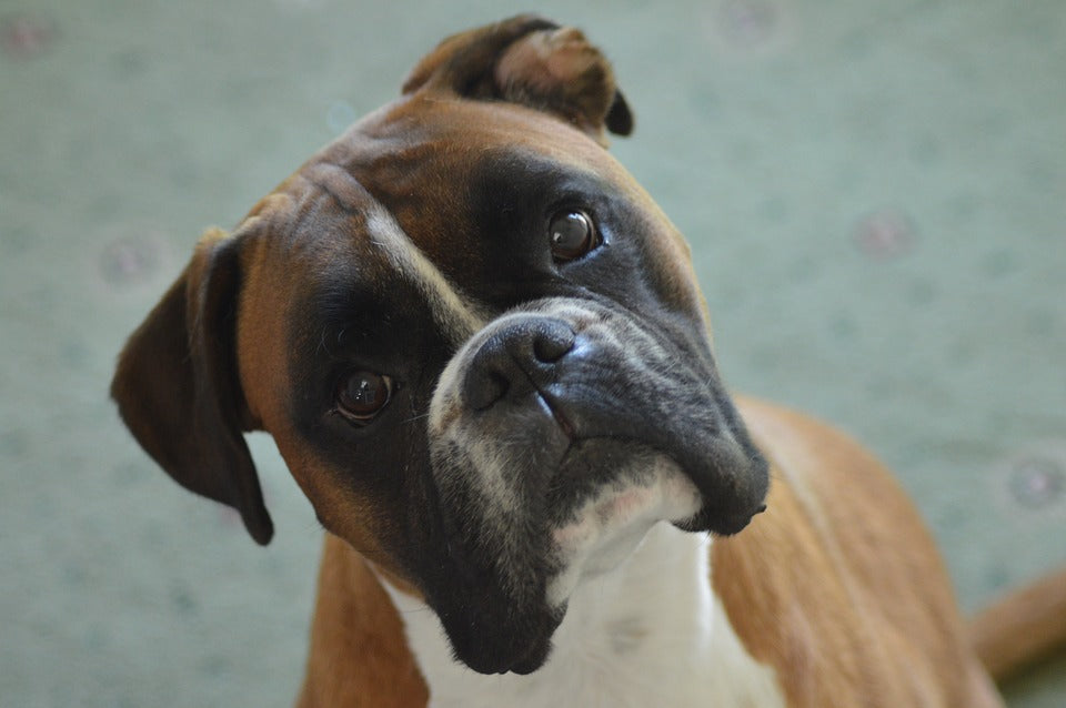 Why Boxers Are the Best Family Dog
