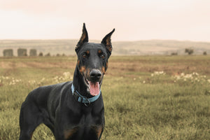 Why Doberman Pinschers Are the Best Family Dog