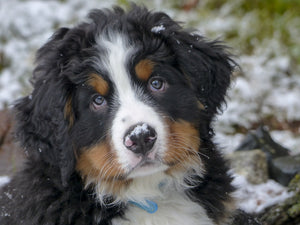 6 Reasons Why Bernese Mountain Dogs Are the Best Family Dog