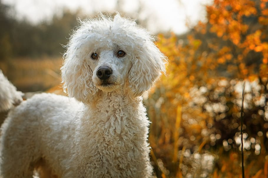 Why Poodles Are the Best Family Dog