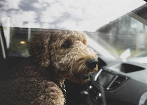 How to Stop Your Dog from Barking in the Car