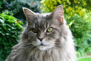 All About Maine Coons: History, Personality, & Physical Traits