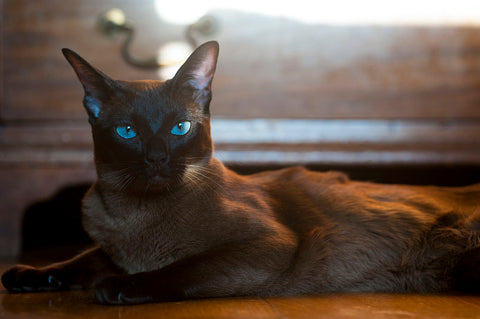 European Burmese cat
