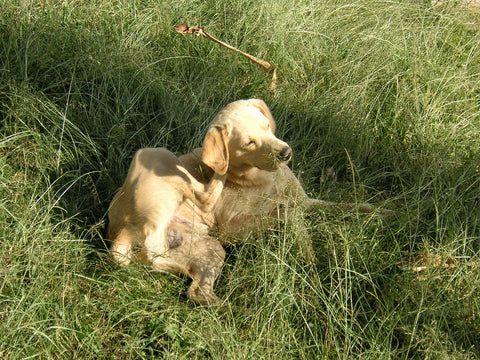 yellow lab scratching in a field