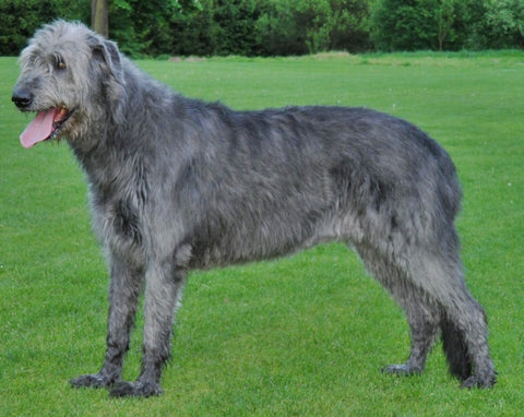 irish wolfhound large dog