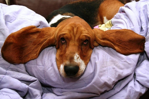 basset hound laying down
