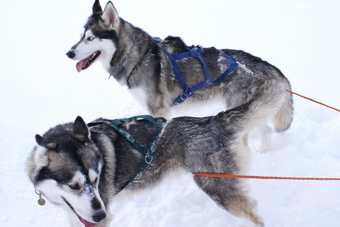 two huskies in the snow