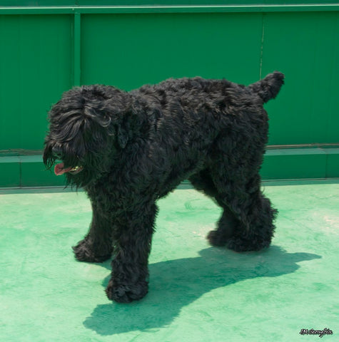 Black Russian Terrier large dog