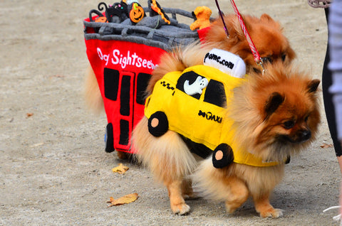 small dog in taxi halloween costume