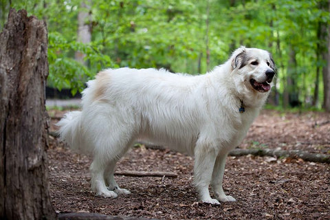 Great Pyrenees large dog