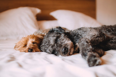 Dogs laying in bed