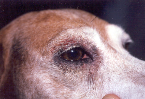 close up on brown dogs eye