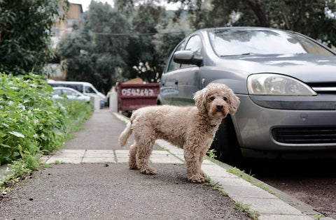 Dog standing in front of car