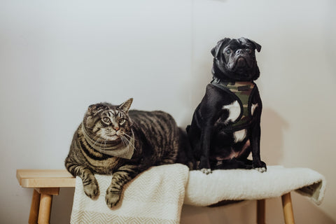 pug and cat