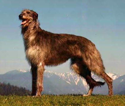 Scottish Deerhound large dog