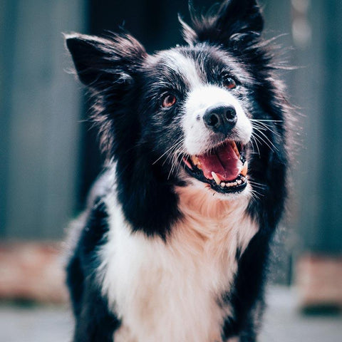 smiling border collie black and white dog
