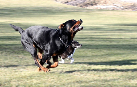 Rottweiler with the zoomies