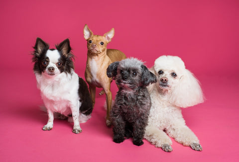Four dogs getting their picture taken