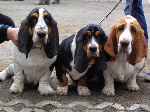 three basset hound dogs
