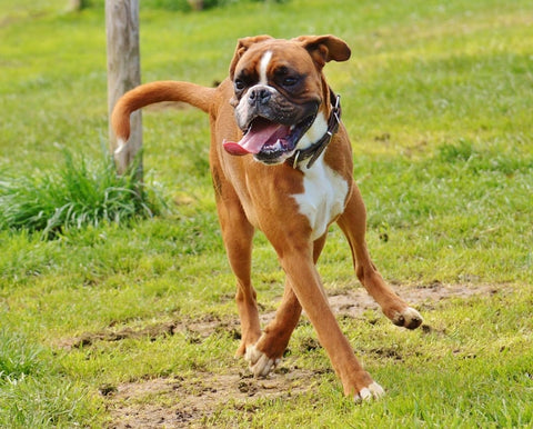 boxer dog playful