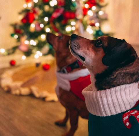 dogs begging in front of Christmas tree
