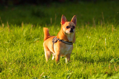 brown chihuahua dog standing outside