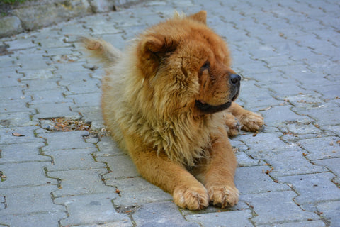chow chow laying down