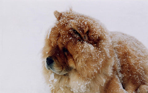 chow chow in the snow