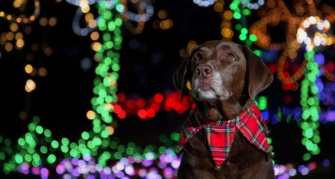 dog sitting in front of Christmas lights
