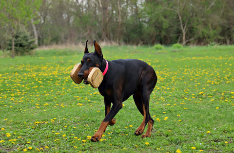 smart doberman iq test