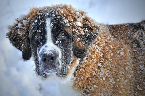 saint bernard dog in snow