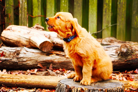 golden retriever puppy barking