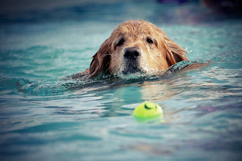 golden retriever swimming with tennis ball
