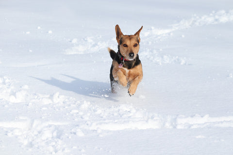 small dog running in snow