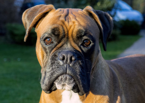boxer dog up close