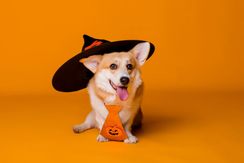 corgi in halloween costume