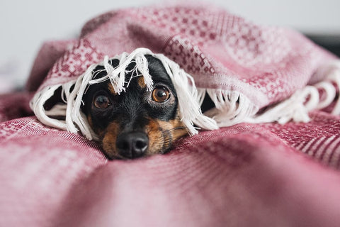 dachshund scared under blanket